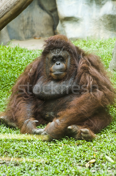 Orangutan sitting on grass Stock photo © johnnychaos