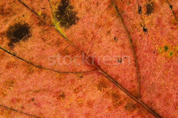 Macro blad shot kleurrijk najaar abstract Stockfoto © johnnychaos