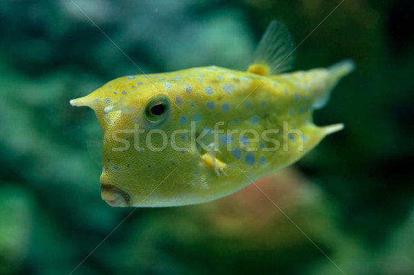 Tropical fish Stock photo © johnnychaos