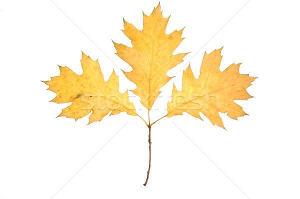 Yellow autumn leaves Stock photo © johnnychaos