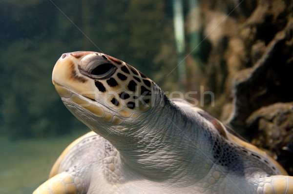 Deniz kaplumbağa yeşil yüzme fotoğraf Stok fotoğraf © johnnychaos