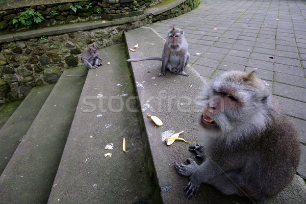 Padangtegal Monkey Forest, famous touristic place in Ubud, Bali Indonesia Stock photo © johnnychaos