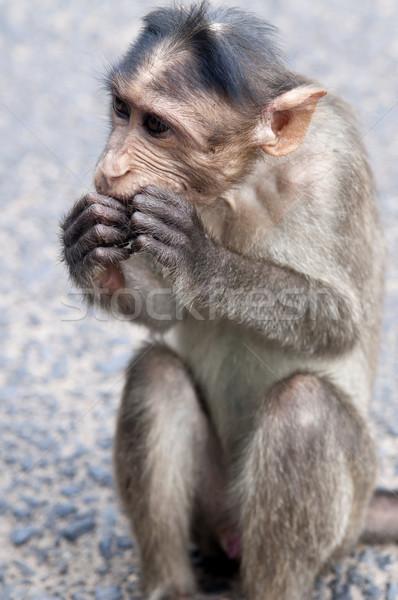 Rhesus Macaque - Macaca mulatta Stock photo © johnnychaos