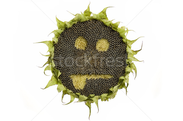Sunflower isolated Stock photo © johnnychaos