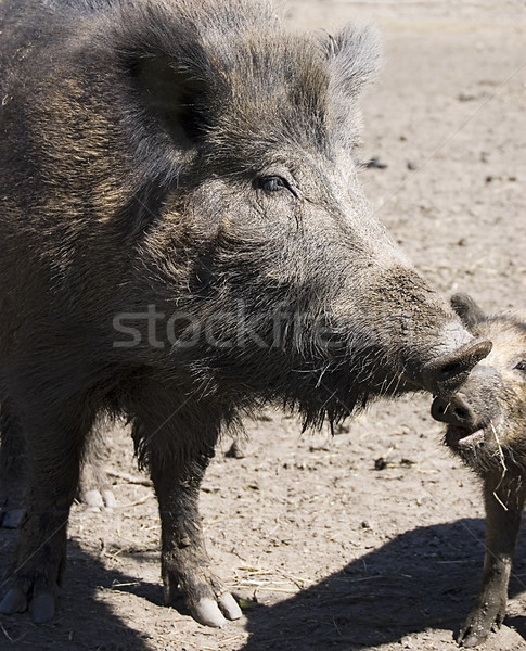 wild boars family Stock photo © johnnychaos