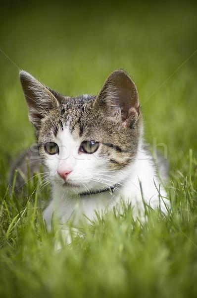Sevimli kedi çim küçük gözler Stok fotoğraf © johnnychaos