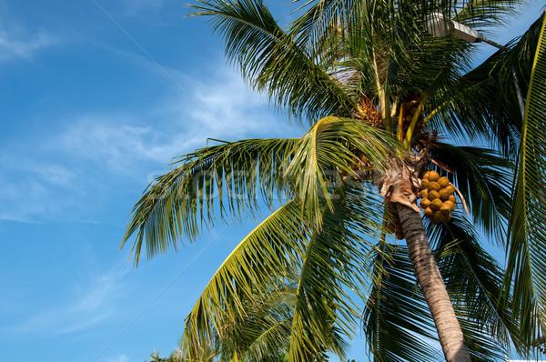 Cocotier ciel bleu feuille arbres été Photo stock © johnnychaos