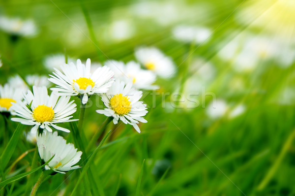 Field of daises Stock photo © johnnychaos