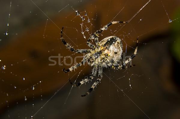 Pók vízcseppek nagy öreg fal szemek Stock fotó © johnnychaos