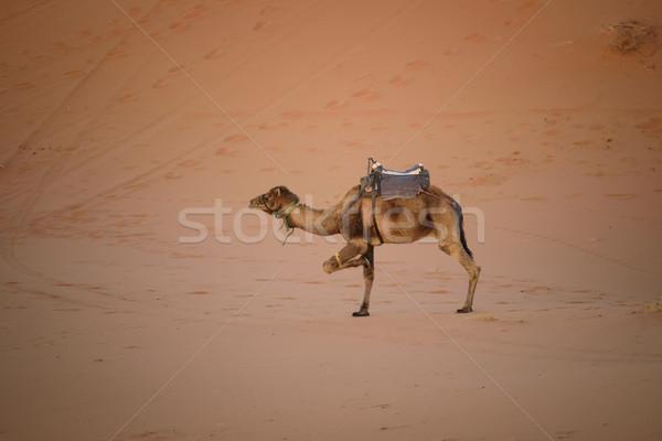 Hasta camello Marruecos arena sáhara desierto Foto stock © johnnychaos