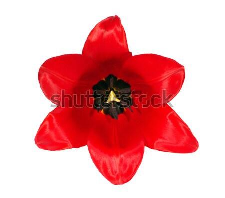 Rouge fleur tulipe isolé blanche fond Photo stock © johny007pan