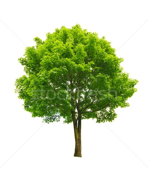Arbre vert fraîches isolé blanche arbre nature Photo stock © johny007pan