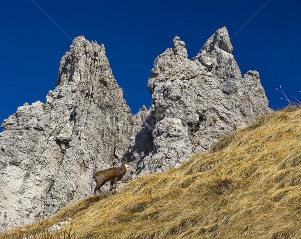 chamois in Alps Stock photo © johny007pan