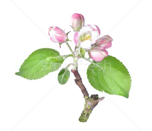 Pommier fleur isolé blanche arbre nature Photo stock © johny007pan