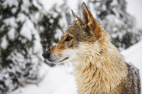 Wolf in the snow Stock photo © Johny87