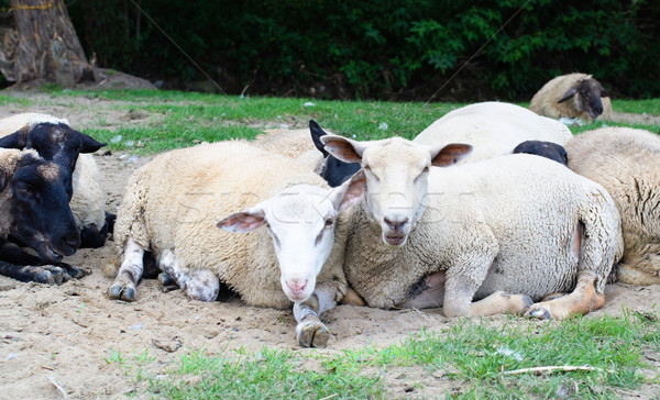 Moutons sol ferme printemps couple Photo stock © Johny87