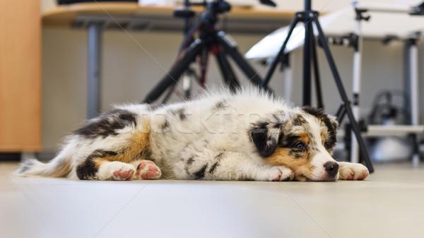 Cute weinig hond triest australisch herder Stockfoto © Johny87