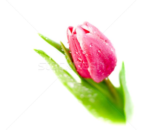 Tulp witte roze waterdruppels geïsoleerd water Stockfoto © Johny87