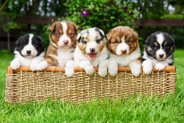 Puppies in a basket Stock photo © Johny87