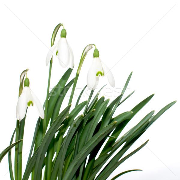 Três folhas branco páscoa natureza jardim Foto stock © Johny87