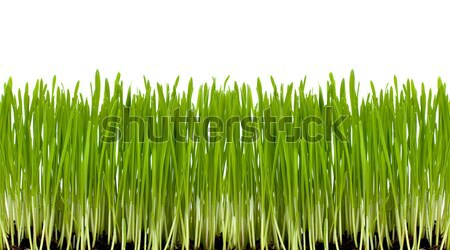 Foto stock: Grama · verde · fresco · isolado · branco · primavera · grama