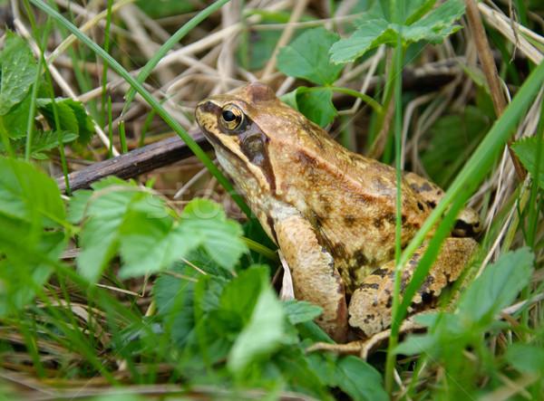 Brown frog Stock photo © Johny87