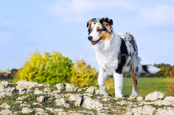 Australian shepherd on the hill Stock photo © Johny87
