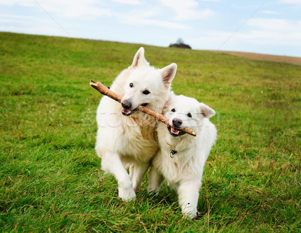 Foto stock: Dois · corrida · cães · branco · prado · natureza