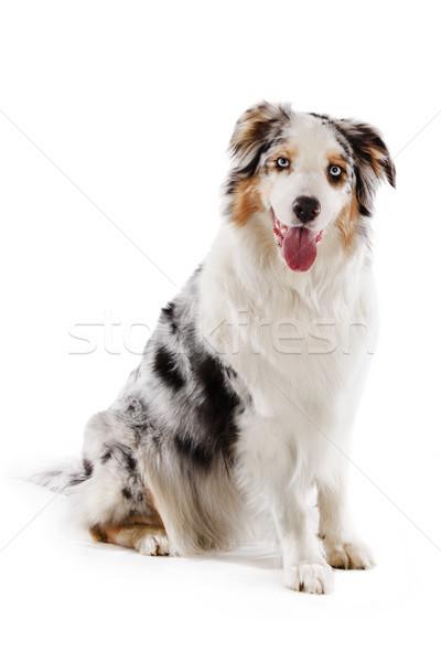 Australiano pastor isolado branco bonitinho cão Foto stock © Johny87