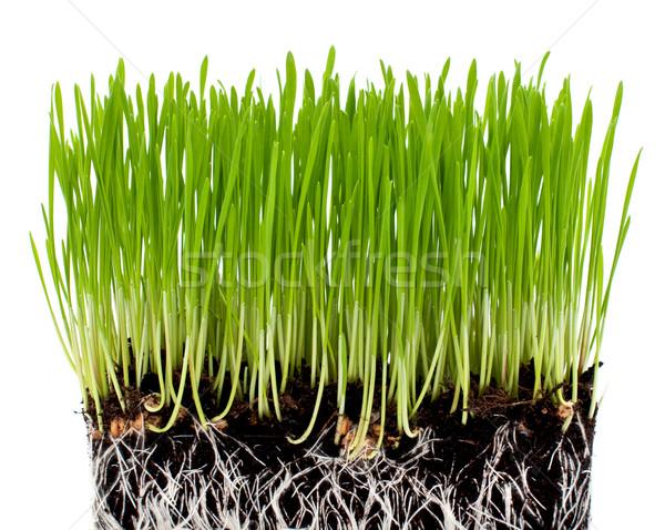 Grama verde terreno isolado branco primavera grama Foto stock © Johny87