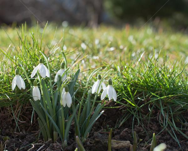 Fraîches nouvelle printemps jardin fleur herbe Photo stock © Johny87