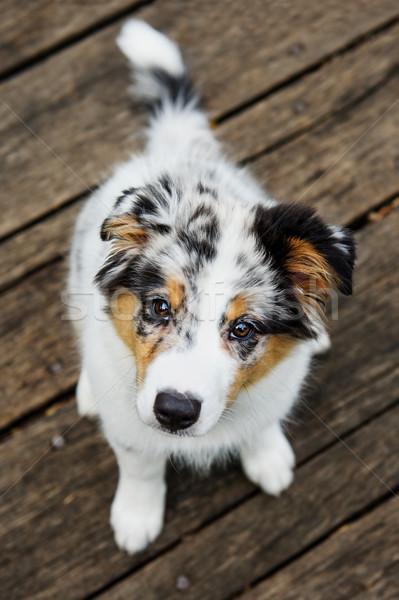 Cute puppy look Stock photo © Johny87