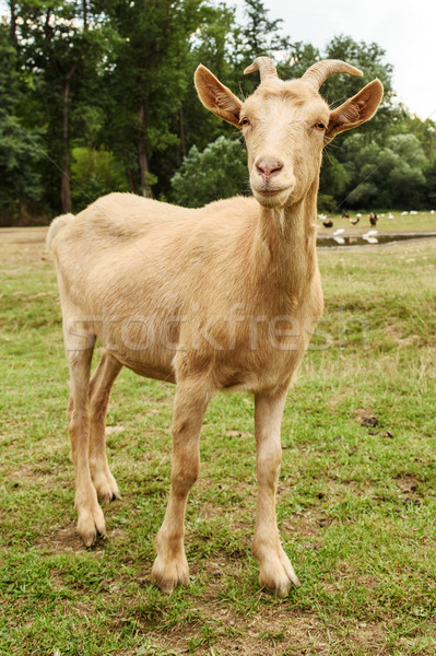 Cabra família fazenda bonitinho animais de fazenda cabelo Foto stock © Johny87