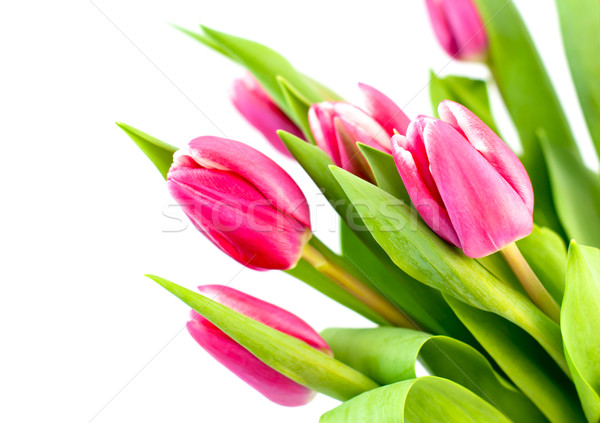 Rose tulipe décoration printemps fond vert Photo stock © Johny87