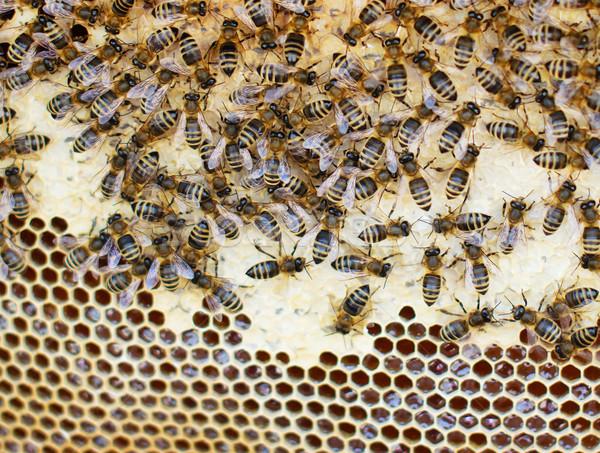 Arılar kovan gıda arka plan arı hayvan Stok fotoğraf © Johny87