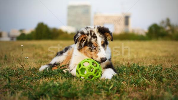 Cute weinig hond australisch herder najaar Stockfoto © Johny87