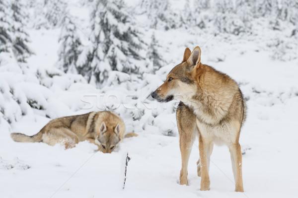 волка свежие снега гор древесины горные Сток-фото © Johny87