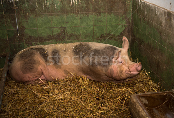 Old sow Stock photo © Johny87