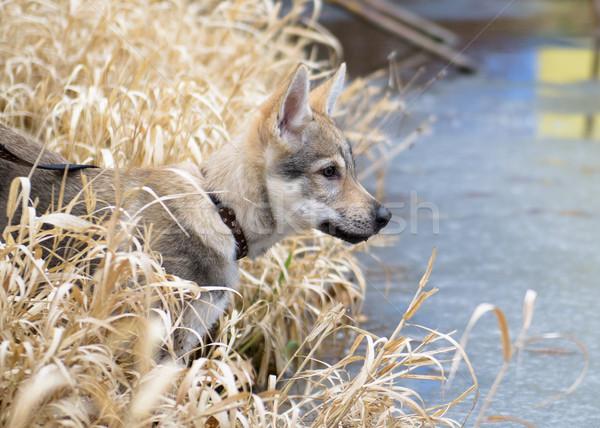 Cute Czechoslovakian wolf Stock photo © Johny87