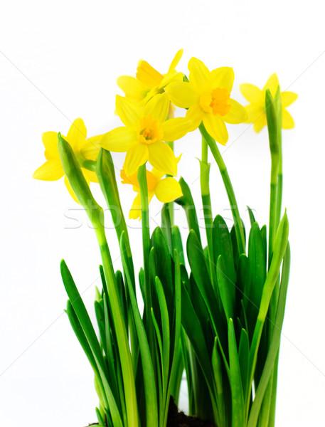 Narcisos fresco amarelo isolado branco páscoa Foto stock © Johny87