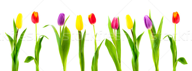 Isolado colorido tulipa branco primavera folha Foto stock © Johny87