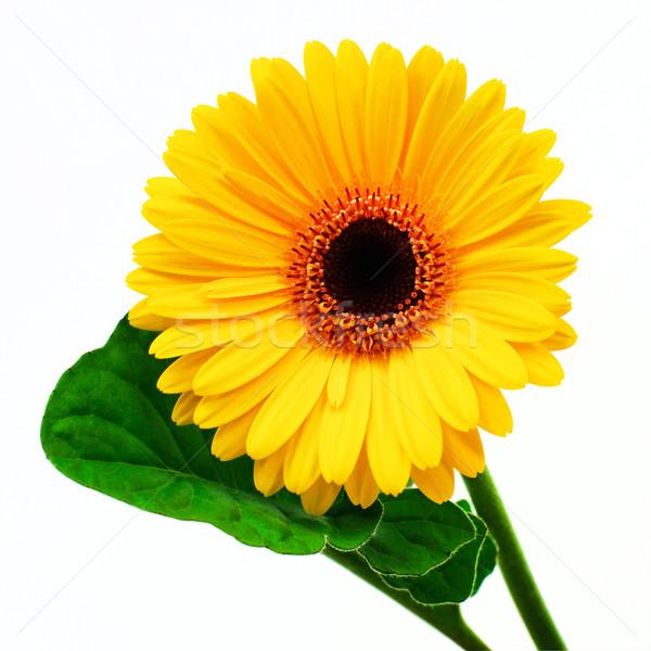 Amarelo folha branco flor primavera verão Foto stock © Johny87