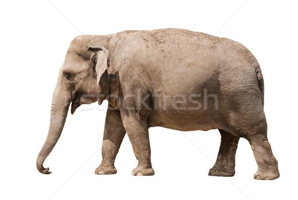 Elefante asiático feminino isolado branco fundo Foto stock © Johny87