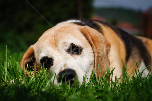 Triste chien Beagle vert pelouse noir Photo stock © Johny87