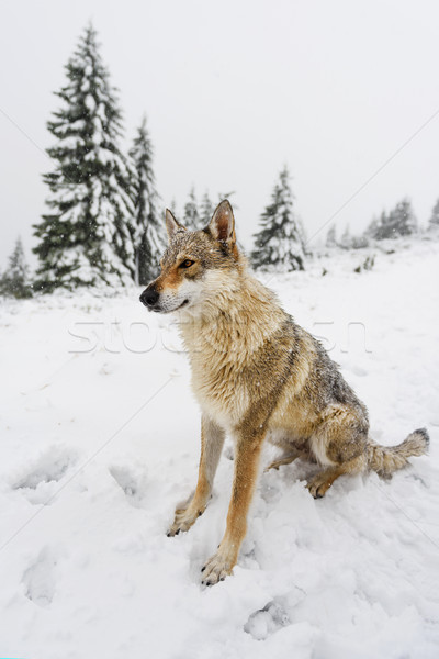 Wolf in fresh snow Stock photo © Johny87