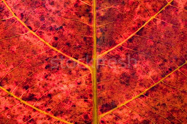 Kırmızı yaprak doku ağaç bahar soyut Stok fotoğraf © jomphong