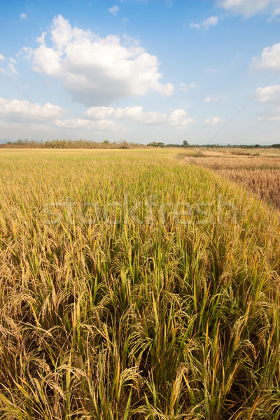 Rice field  Stock photo © jomphong