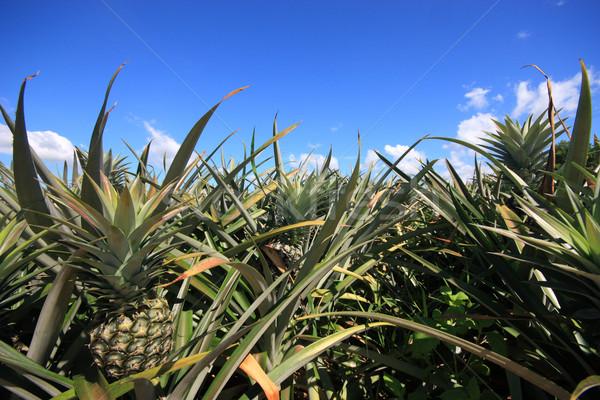 Ananas bahçe Tayland meyve yaz yeşil Stok fotoğraf © jomphong
