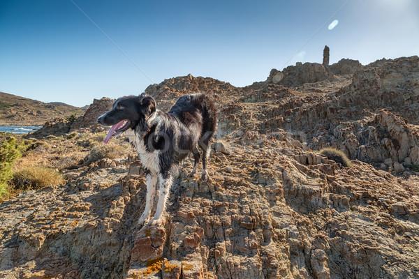 Border collie perro costa córcega antigua torre Foto stock © Joningall
