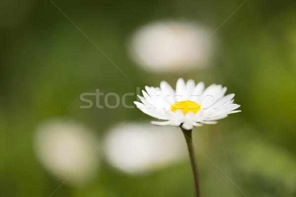 Daisy зеленый фон цветок расплывчатый белый Сток-фото © Joningall